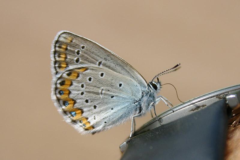 Silver-studded_Blue_lith_1.jpg
