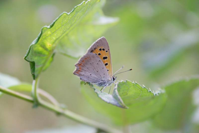 Small Copper thumb 1.jpg