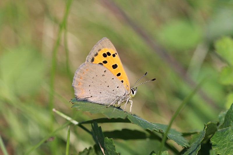Small_Copper_lt_1.jpg