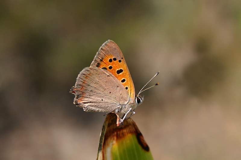Small_Copper_ropejos.jpg