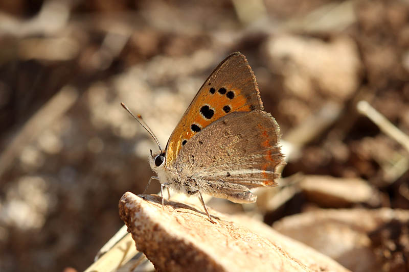 Small_Copper_sp_2.jpg