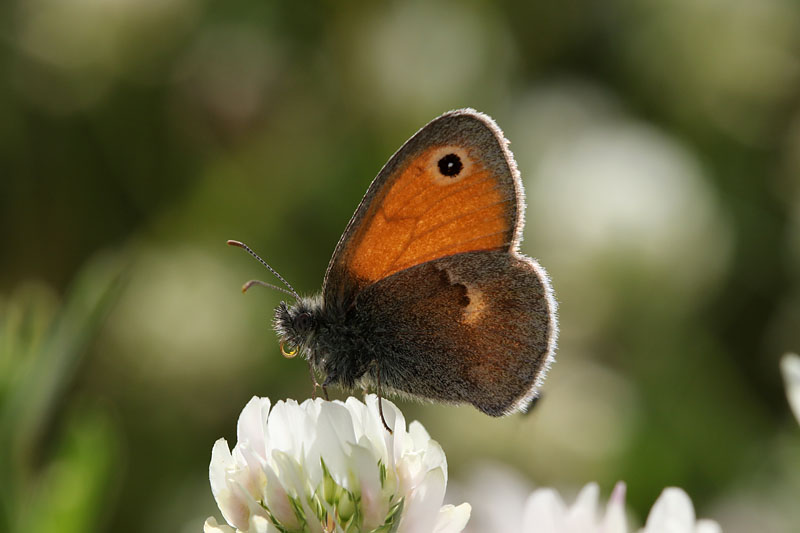 Small_Heath_gr_1.jpg