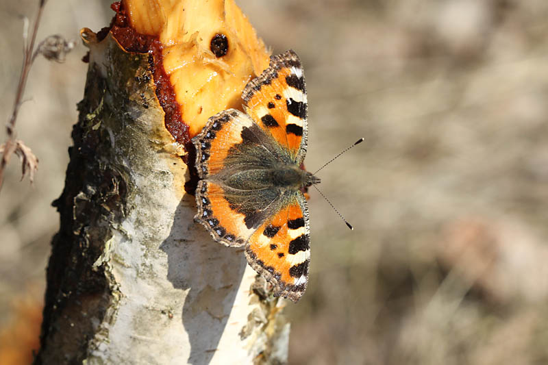 Small_Tortoiseshell_on_Sap_lab_1.jpg