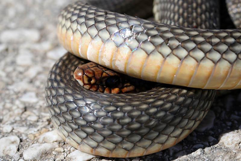Snake_gr_1.jpg