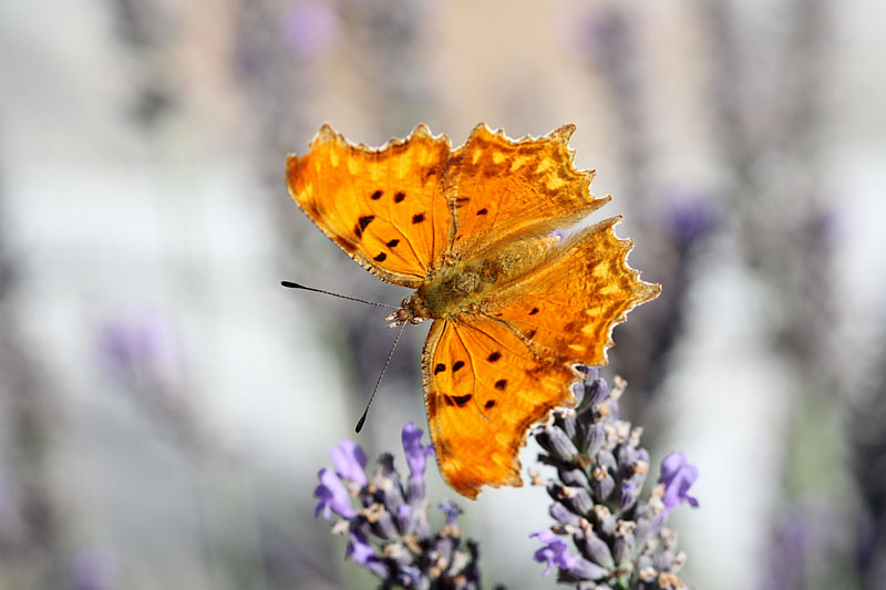 Southern_Comma_fr_1.jpg