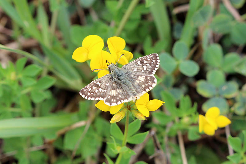 Southern_Grizzled_Skipper_sp_1.jpg