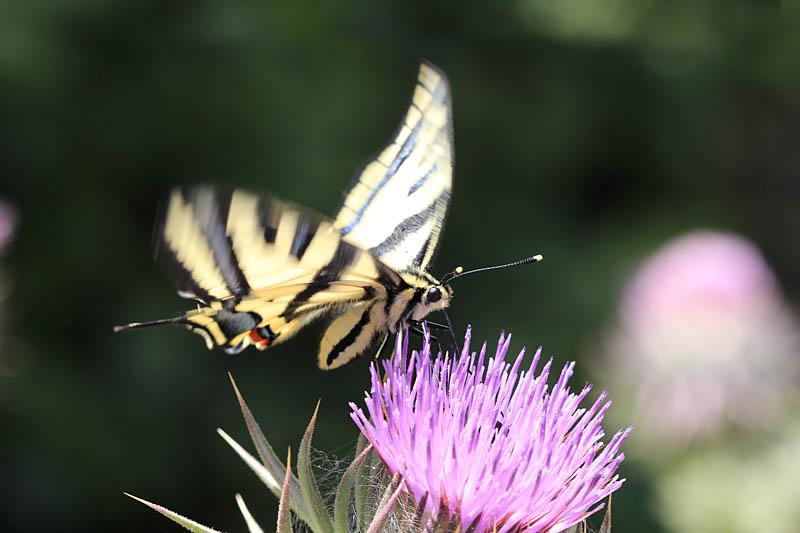 Southern_Swallowtail_gr_2.jpg