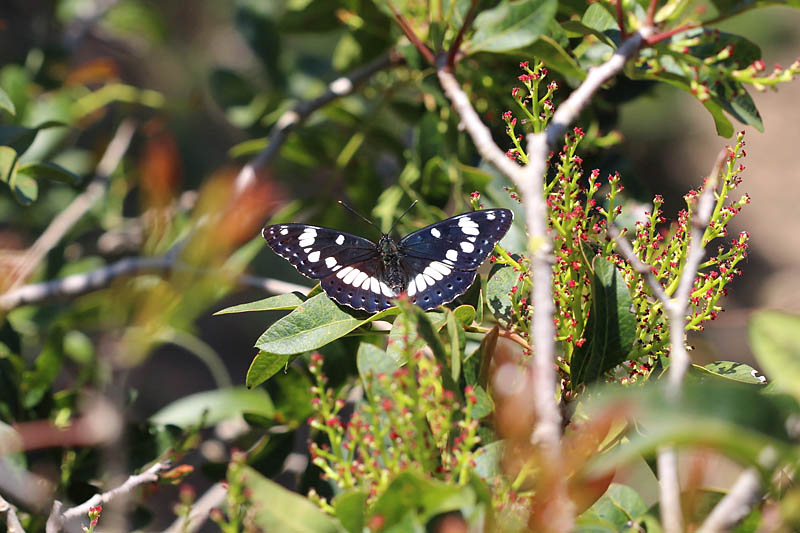 Southern_White_Admiral_sp_2.jpg