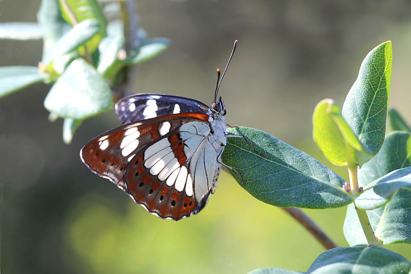 Southern_White_Admiral_sp_3.jpg