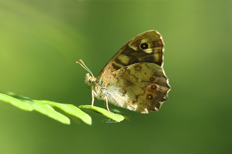 Speckled_Wood_lt_6.jpg