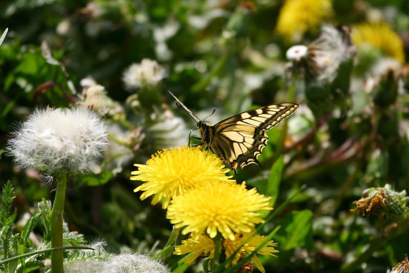 Swallowtail,_voke_1.jpg