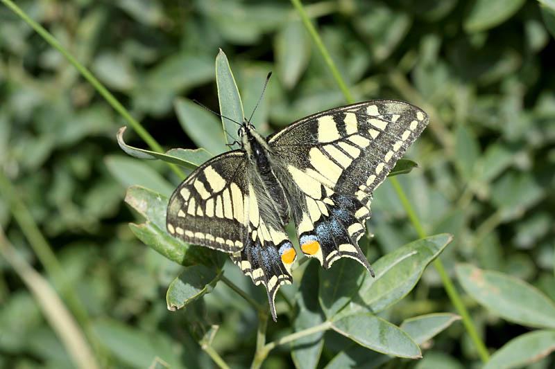 Swallowtail_ks_1.jpg