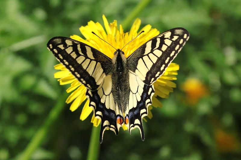 Swallowtail_lt.jpg