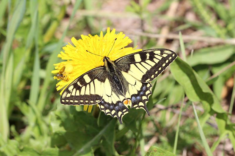Swallowtail_lt_1.jpg