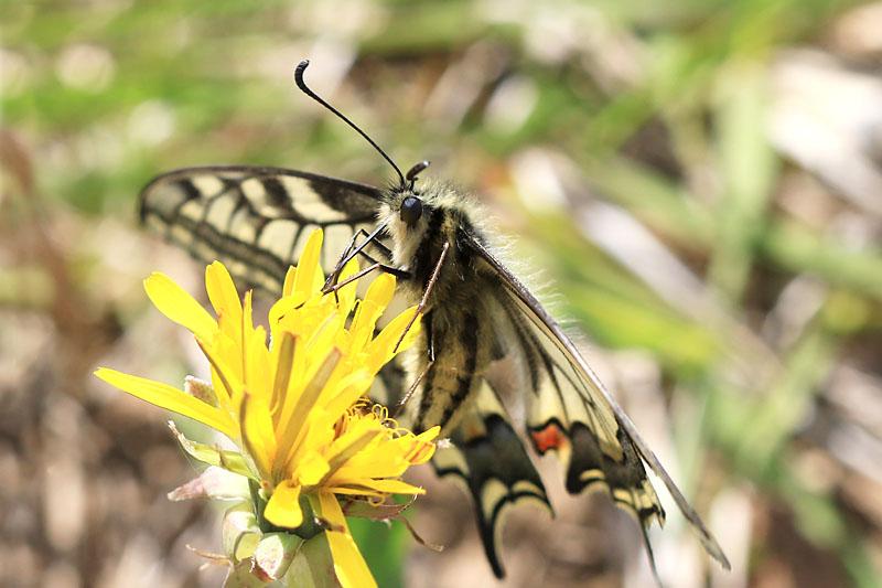 Swallowtail_lt_2.jpg