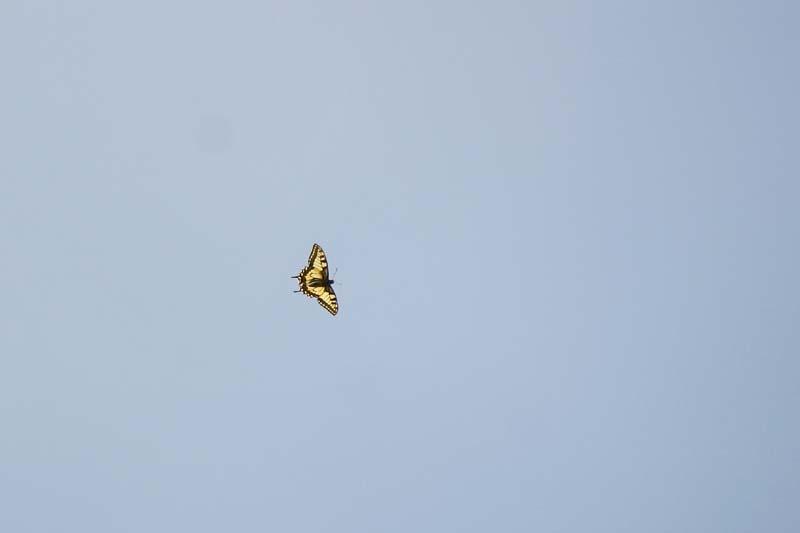 Swallowtail_thumb_1.jpg