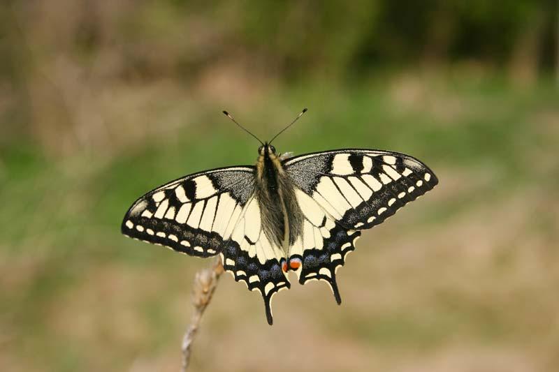 Swallowtail_thumb_2.jpg