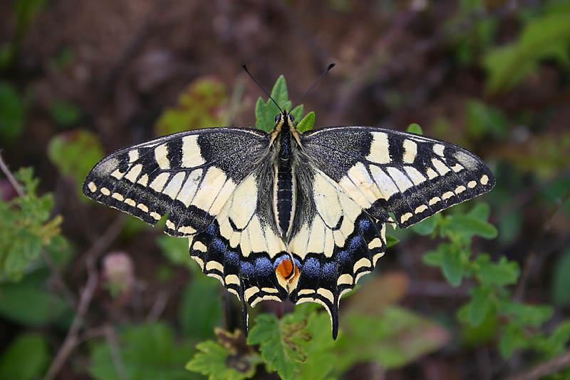 Swallowtail_voke.jpg