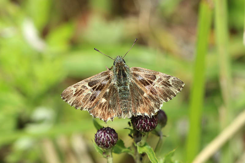 Tufted_Marbled_Skipper_lt_3.jpg