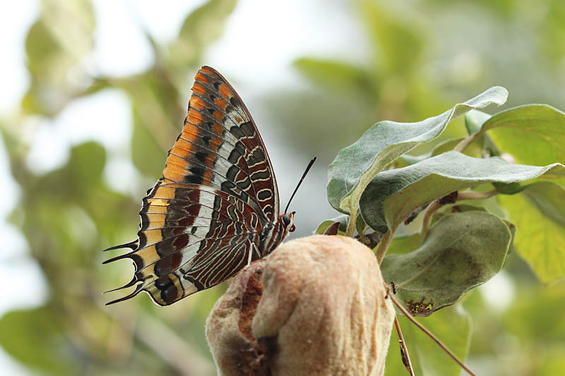 Two-tailed_Pasha_sp_1.jpg