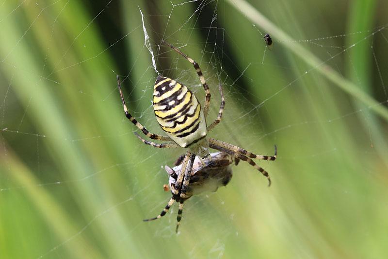 Wasp_Spider_lt_1.jpg