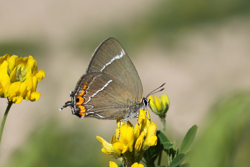 White-letter_Hairstreak_lith_1.jpg