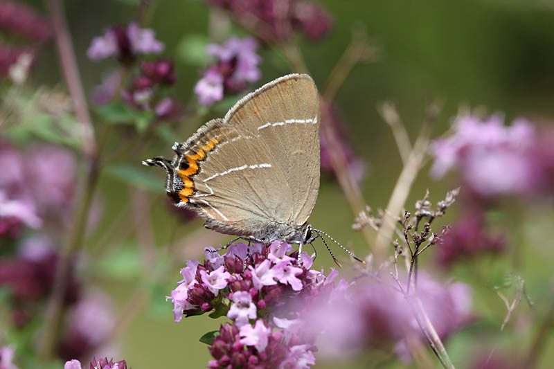 White-letter_Hairstreak_lt_4.jpg