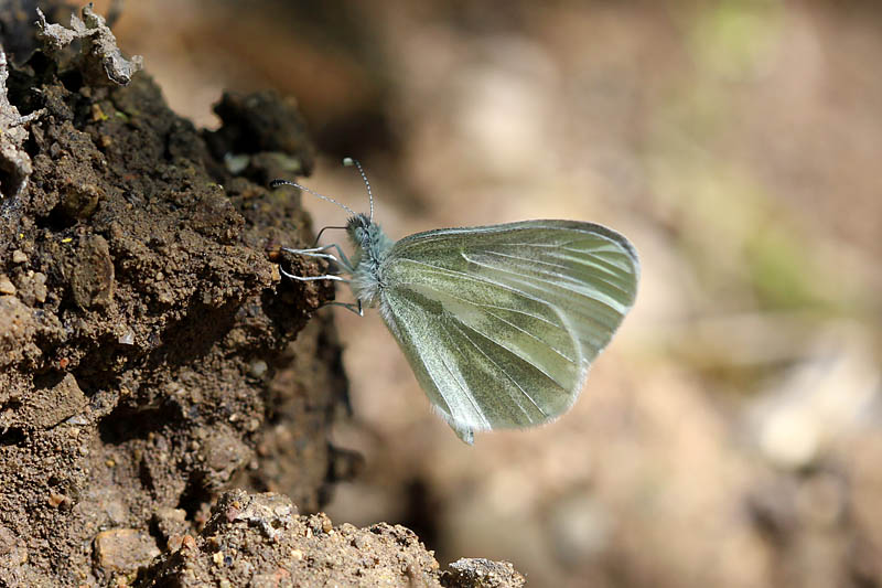 Wood_White_sp_2.jpg