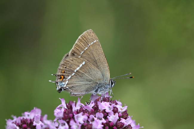 Bluespot Hairstreak