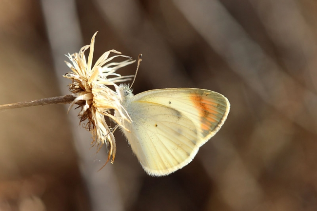 Desert Orange Tip