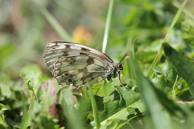 Espers Marbled White