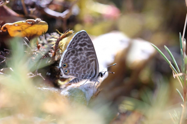 Langs Short-tailed Blue