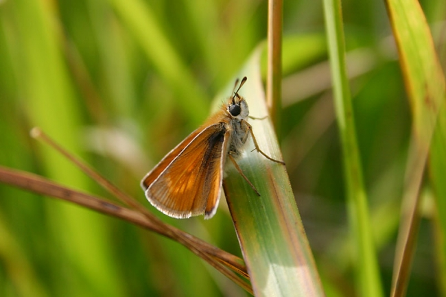 Lulworth Skipper, female