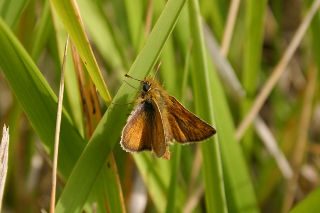 Lulworth Skipper, male