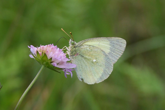 Moorland Cloded Yellow