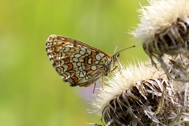 Nickerls Fritillary