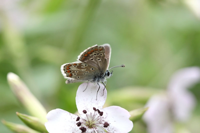 Northern Brown_Argus