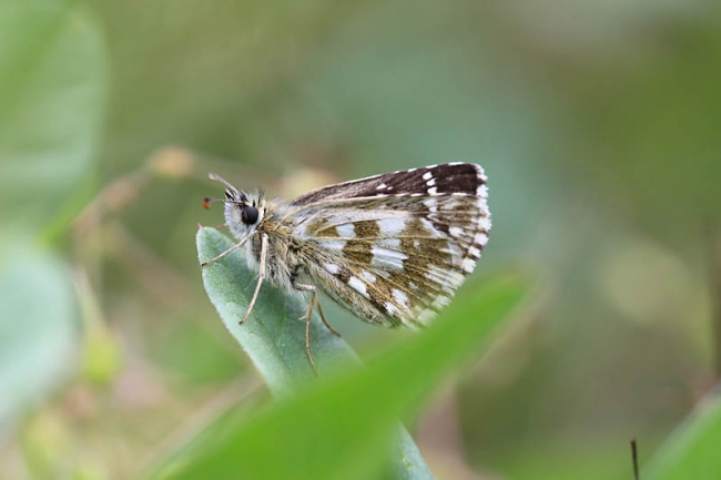 Oberthurs Grizzled Skipper