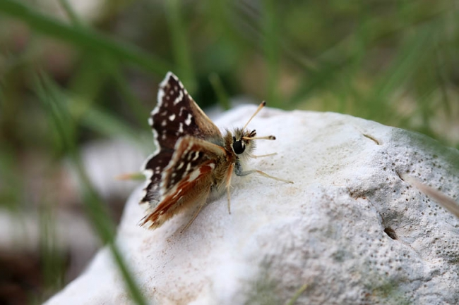 Red-underwing Skipper