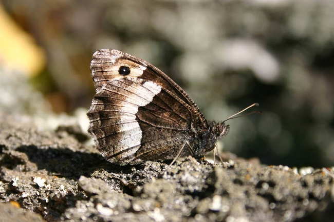 Rock Grayling