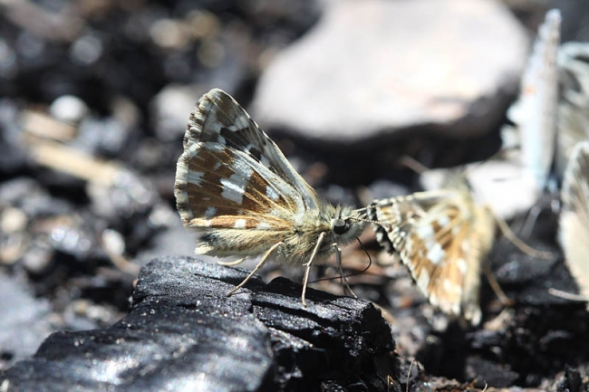 Safflower Skipper