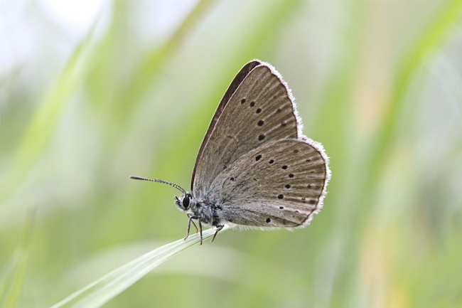 Scarce Large Blue