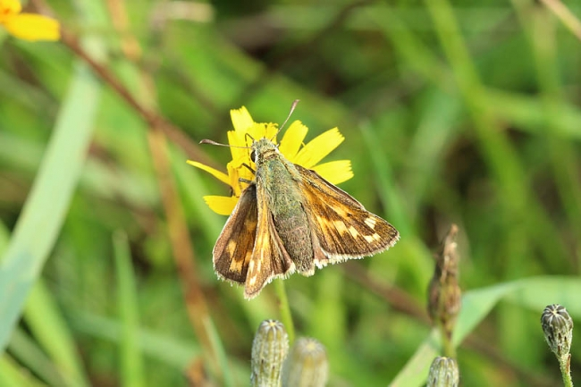 Silver-spotted_Skipper