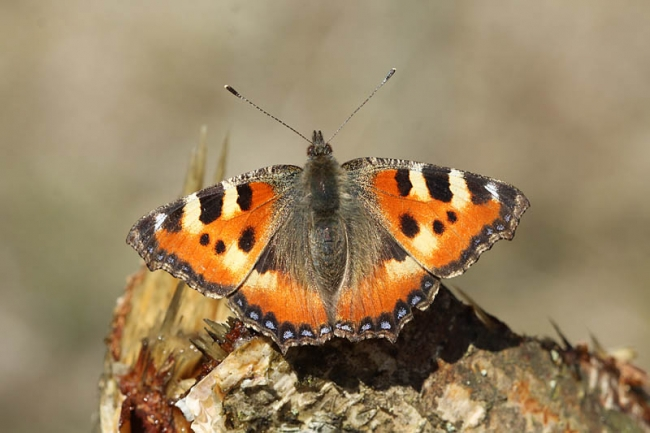 Small Tortoiseshell on Sap