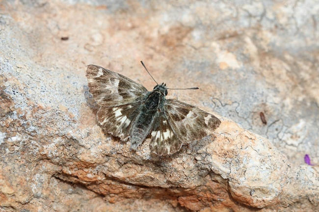 Oriental Marbled Skipper