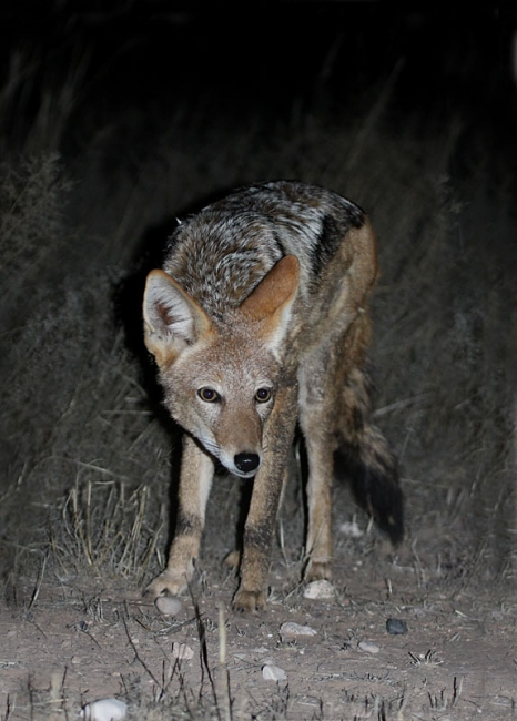 Dark-backed Jackal