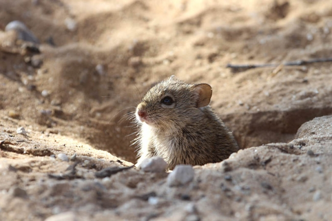 Four-striped Field Mouse