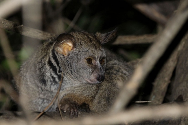 Greater_Bushbaby