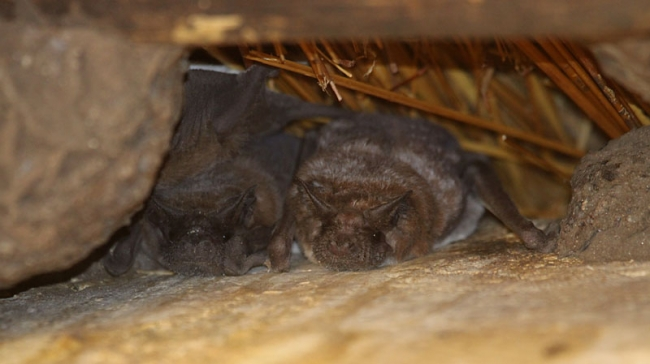 Little Free-tailed Bats