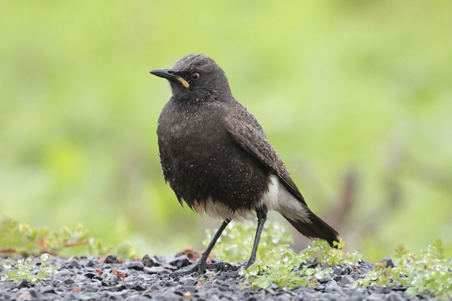 Pied Starling in the rain